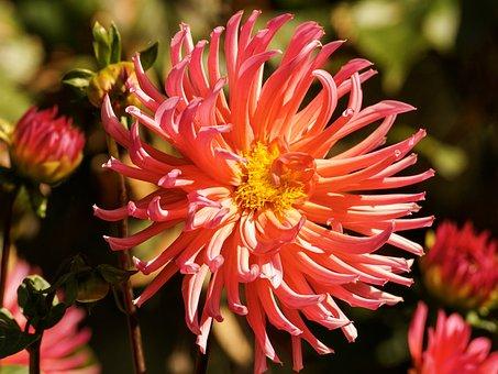 Dahlia, Blossom, Bloom, Petals, Beauty, Red, Light