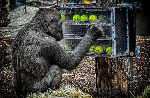 Gorilla, Monkey, Animal, Food, Playful, Employment