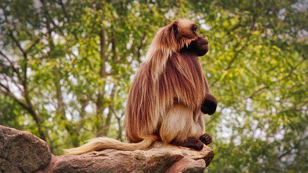 Dschelada, The Blood Breast Baboons, Monkey, Primates
