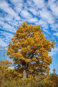 Autumn, Oak, Tree, Nature, Leaves, Season, Colorful