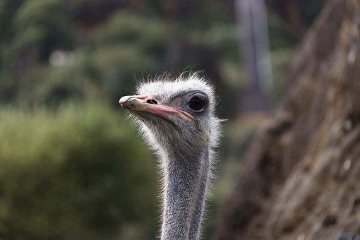 Portrait, Ostrich, Animals, Birds, Funny, Nature, Pen