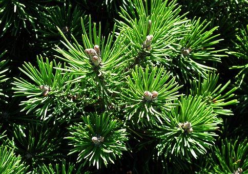 Needle, Mountain Pine, Needles, Summer, Tree, Twigs