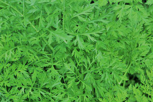 Carrot Tops, Green, Pattern, Food, Eating, Leaf
