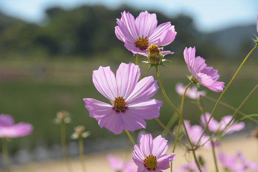 Cosmos, Pink, Flowers, Autumn, Colorful
