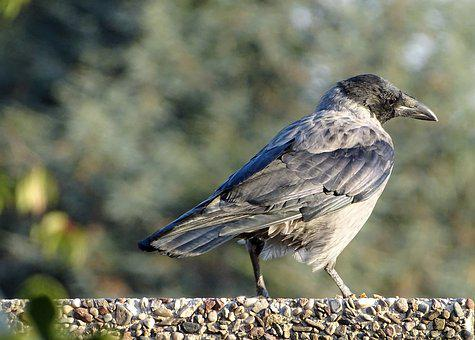 Hooded Crow, Carrion Crow, Crow, Raven Bird