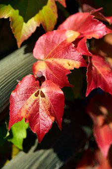 Wine Partner, Vine Leaves, Autumn, Color, Red, Bright