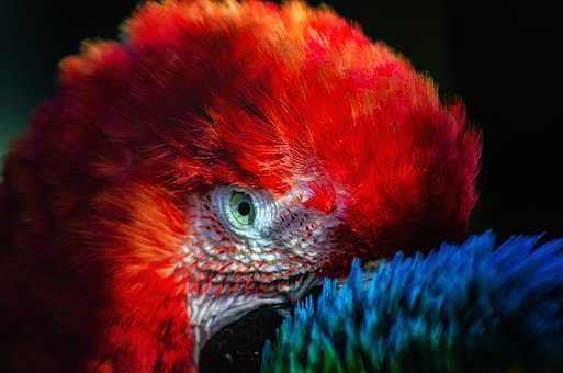 Parrot, Red, Eye, Feathers, Bright, Colorful, Plumage