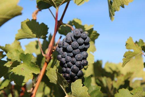 Grape, Merlot Wine, Cluster Grape, Vineyard, Red Grape