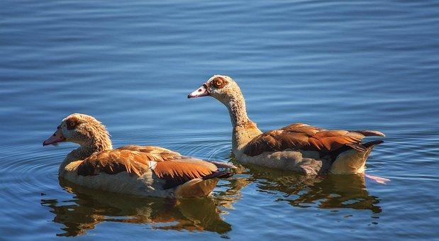 Geese, Birds, Water, Ripples, Pond, Lake, Still, Blue