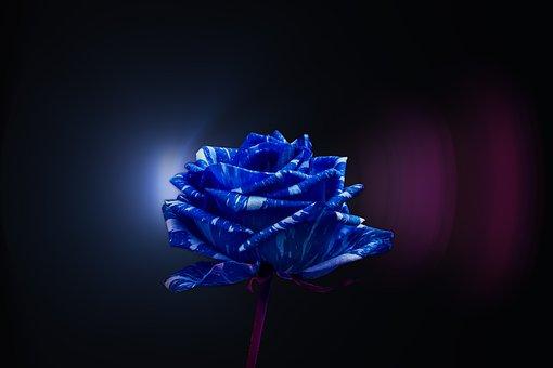 Rosa, Pretty, Flower, Romance