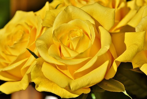 Rose, Bouquet Of Roses, Blossom, Bloom, Rose Bloom