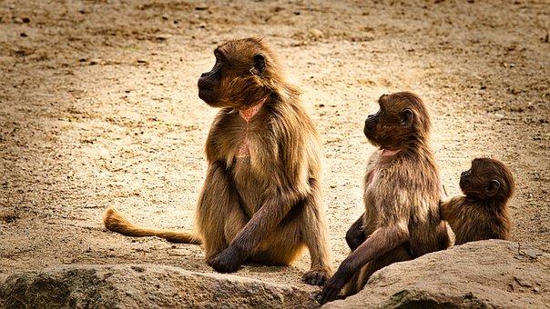 Dschelada, The Blood Breast Baboons, Ape, Monkey Baby