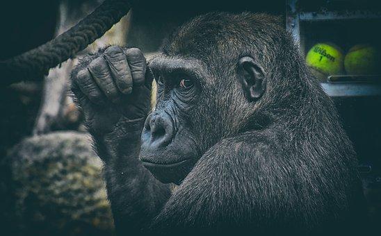 Gorilla, Monkey, Animal, Wild Animal, View, Furry