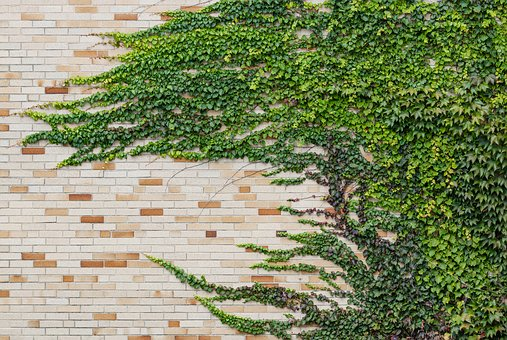 Ivy, Vine, Plant, Leaves, Foliage, Nature, Green