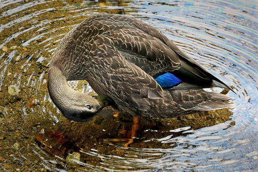 Black Duck, Birds, Nature, Lake, Water, Waterfowl