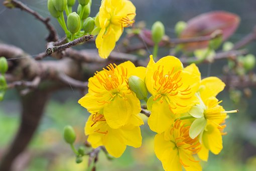 Apricot Blossom, Flower, Tet, The Lunar New Year, Write