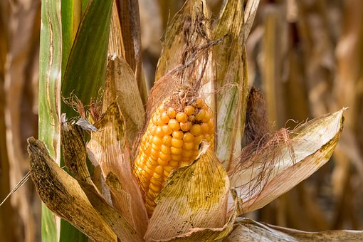Corn, Corn On The Cob, Plant, Crop, Agriculture, Field