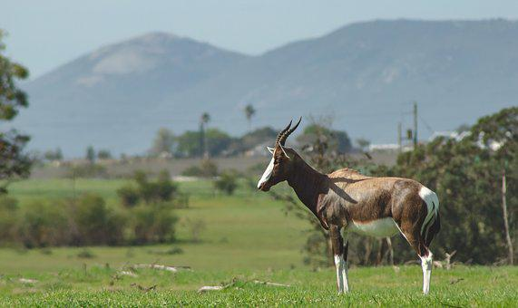 Bontebok, Africa, Safari, Antelope, Nature, Animal