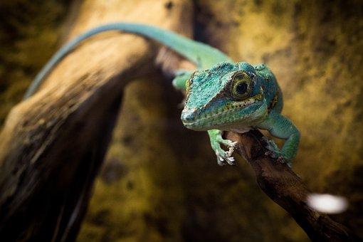 Lizard, Reptile, Animal, Iguana, Nature, Green, Exotic