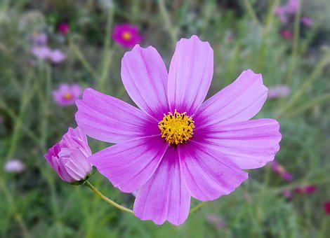 Cosmos, Autumn, Bright, Blossom, Pink Flower, Beautiful