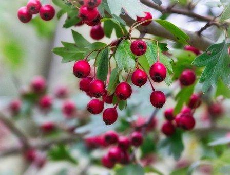 Berries, Autumn, Fruits, Bush, Red, Ornamental Shrub