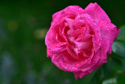 Rose, Rose Bloom, Pink, Wet, Drip, Rain, Autumn, Moist