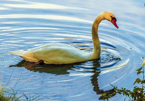 Swan, Ave, White, Animals, Plumage, Water, Pen, Nature