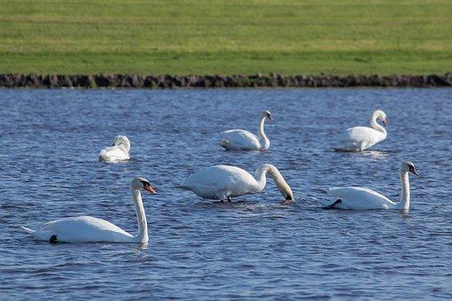 Swan, Swans, Water, More, Bank, Waterfowl, Animal, Bird