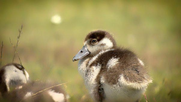 Cute, Fuzzy, Fluffy, Chicks, Goslings, Goose, Bird