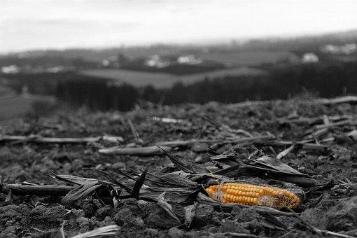 Corn, Black And White, Blackandwhite, Canon, Field