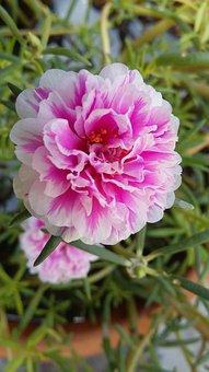 Portulaca Grandiflora, Rose, Blossom, Bloom, Bright