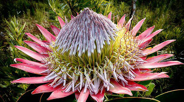 Protea, King Protea, Flower, Bloom, Nature, Blossom