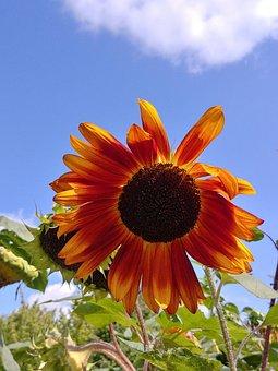 Summer, Sunflower, Yellow, Flower, Clear, Sunny