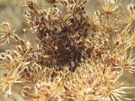 Dry Plant, Heatwave, Climate, Dead, Seeds, Brown