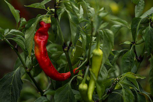 Nature, Garden, Pepperoni, Red, Green, Sharp, Close Up