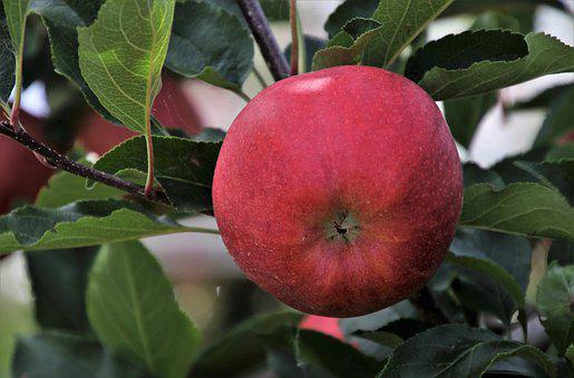 Fruit, Apple, Sprig, Foliage, Nature, Closeup, Autumn