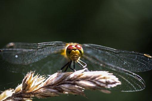 Dragonfly, Samer, Macro, Nature, Spring, Outdoor