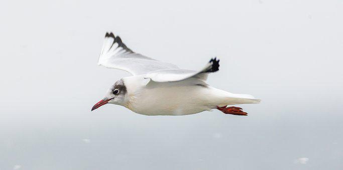 Seagull, Wildlife, Seabird, Birds, Wings, Expensive