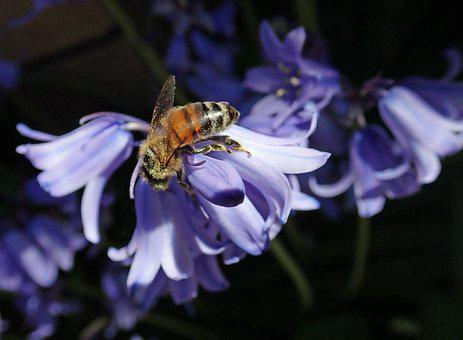 Bluebell, Flower, Bee, Insect, Pollen, Garden, Nature