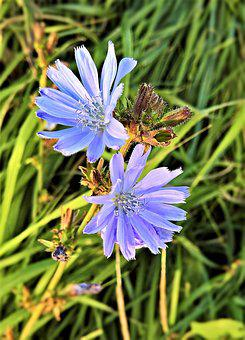 Flowers, Chicory, Cichorium Intybus, Beach Flowers