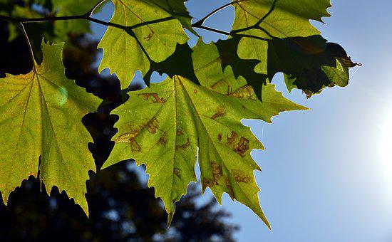 Leaves, Autumn, Nature, Forest, Tree, Maple