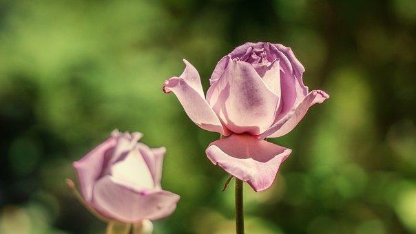 Rosa, Flower, Flora, Flowering, Beautiful, Fragrance
