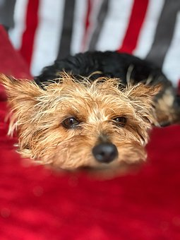 Dog, Yorkie, Yorkshire Terrier, Cute, Fury, Canine, Pet