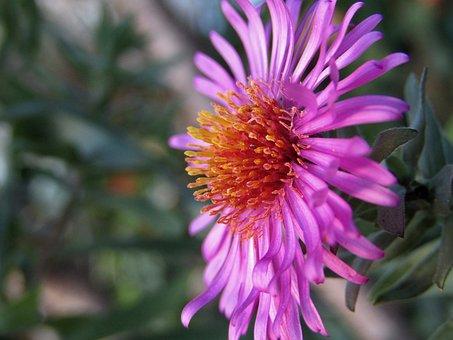 Wild Flower, Violet, Pollens, Macro, Zoom, Garden
