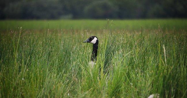 Goose, Bird, Grass, Animal, Nature, Animal World