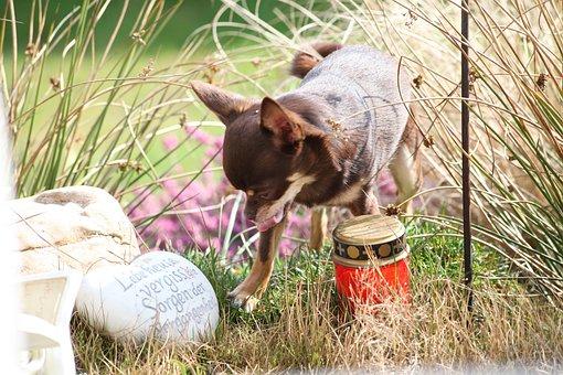 Dog, Grass, Chihuahua, Animal, Nature, Pet, Cute