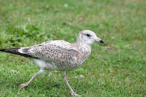Animal, Bird, Juvenile, Ring-billed, Gull