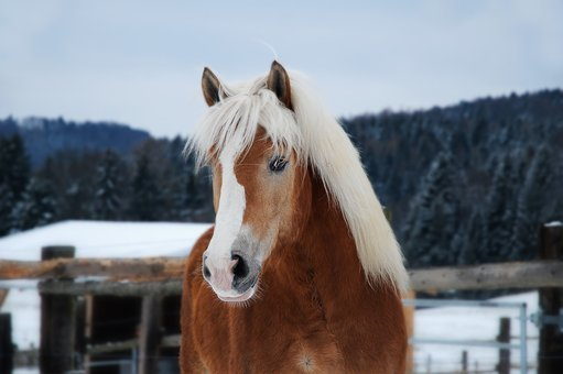 Horse, Haflinger, Portrait, Head, Animal, Snow, Blonde