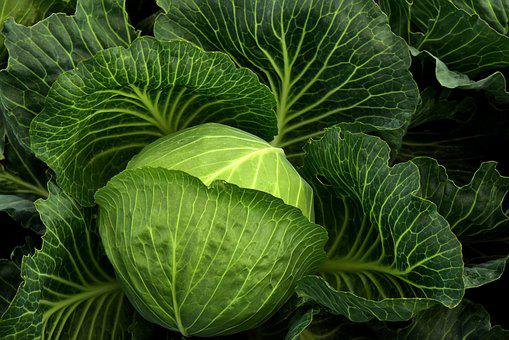 Cabbage, Cultivation, Vegetables, Healthy