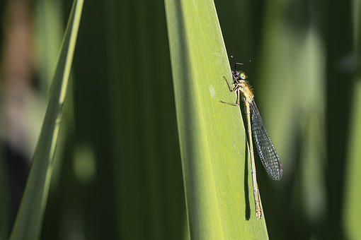 Dragonfly, Insect, Nature
